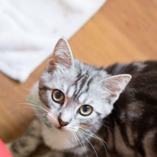Henry - Domestic Short Hair Cat