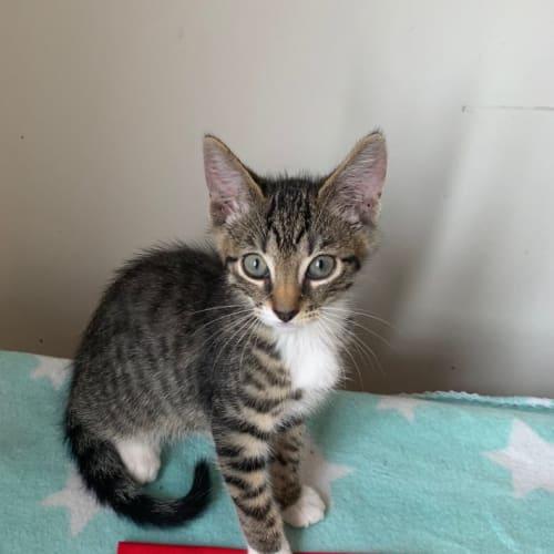 Sven - Domestic Short Hair Cat