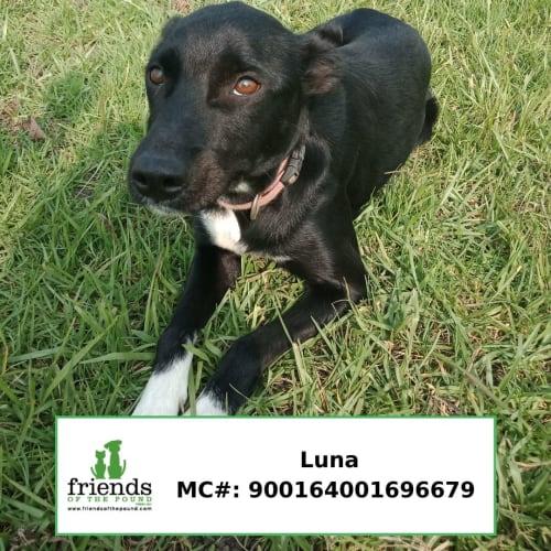 Luna - Border Collie Dog
