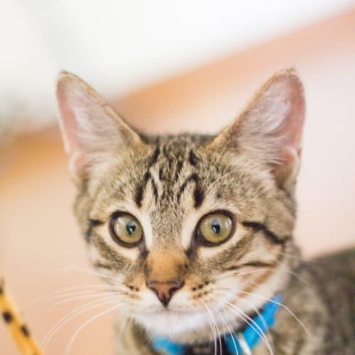 Big Ted - Domestic Short Hair Cat