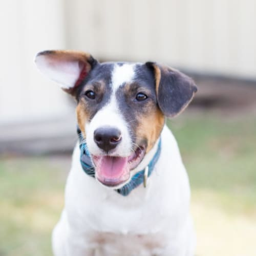 Benji - Fox Terrier Dog