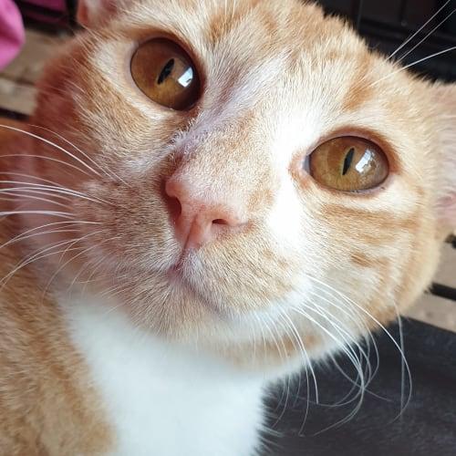 Monkey - Domestic Short Hair Cat