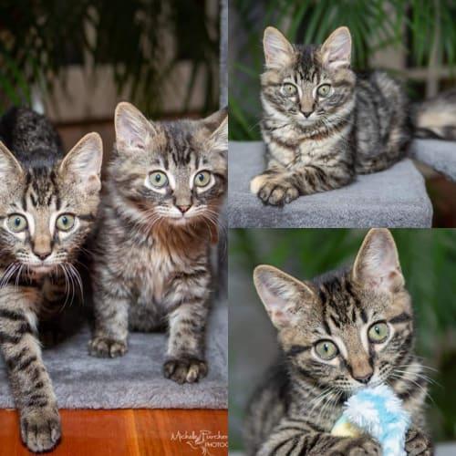 1685/1663 - Morales & T'Challa  - Domestic Short Hair Cat