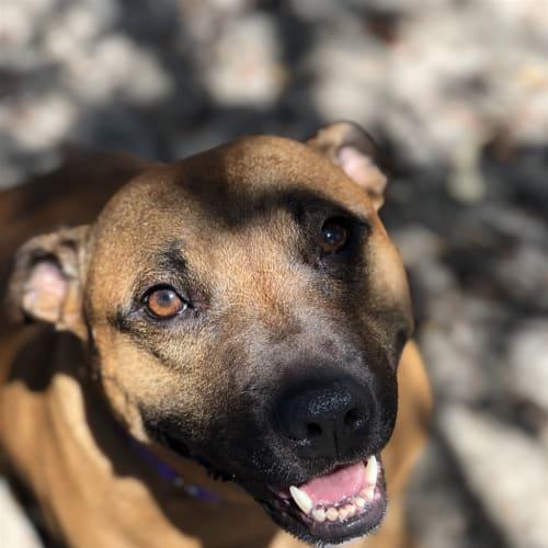 Bella - Staffy Dog