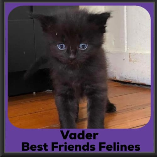 Vader  - Domestic Medium Hair Cat