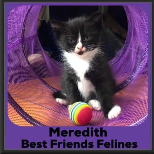 Meredith  - Domestic Medium Hair Cat