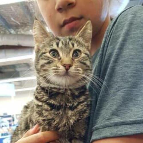 Katya - Domestic Short Hair Cat