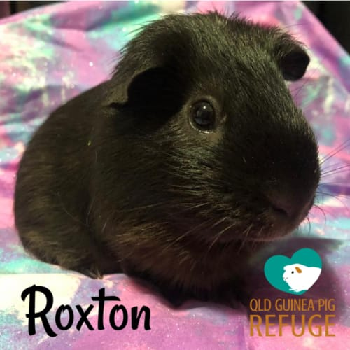 Roxton (desexed male) - Smooth Hair Guinea Pig