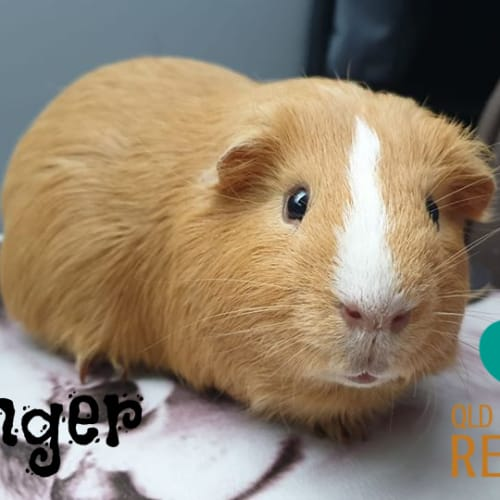 Ginger (desexed male) - Smooth Hair Guinea Pig