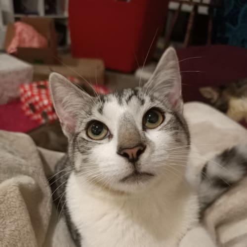 Roughnut - Domestic Short Hair Cat