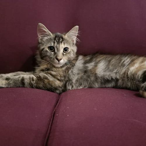 Kitty - Domestic Medium Hair Cat
