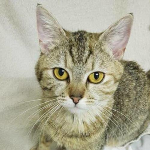 Molly - Domestic Short Hair Cat