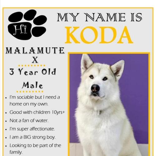Koda - Alaskan Malamute Dog