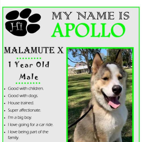 Apollo - Alaskan Malamute Dog
