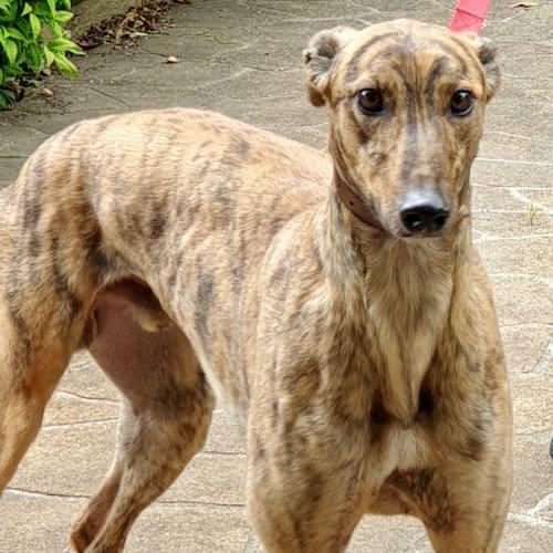Tiger.    Melbourne - Greyhound Dog