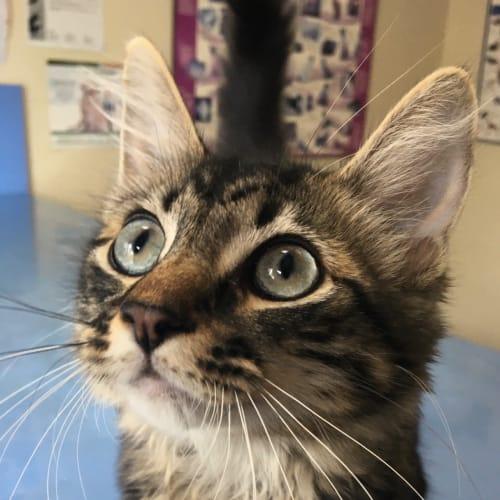 Sven - Domestic Medium Hair Cat