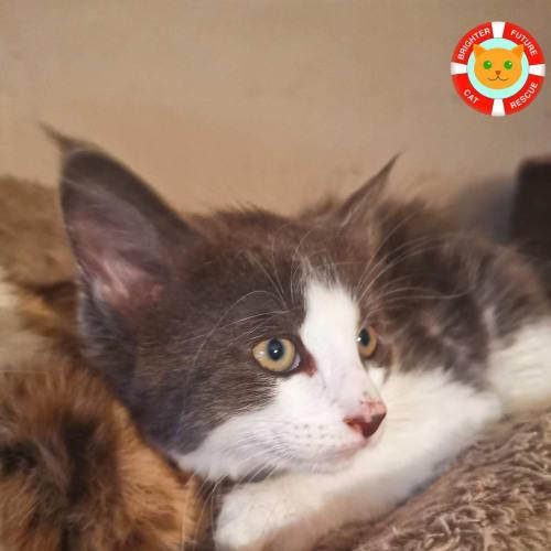 Merlot  - Domestic Medium Hair Cat