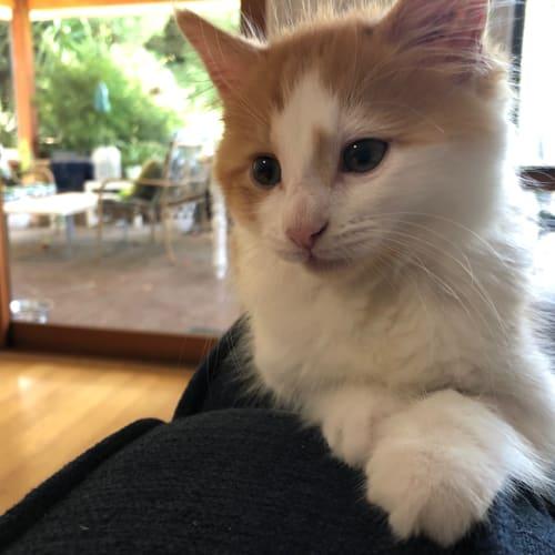 ED - Domestic Medium Hair Cat