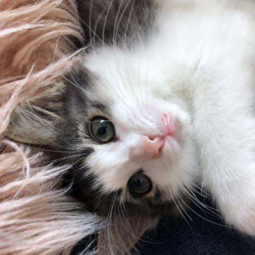 Loni - Domestic Long Hair Cat