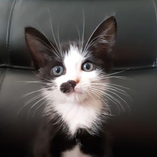Moe - Domestic Short Hair Cat