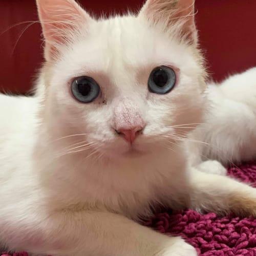 Binx 🐾🐾 - Japanese Bobtail Cat