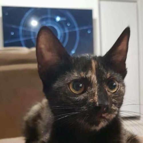Chook - Domestic Short Hair Cat