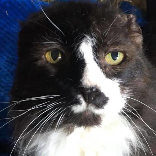 Alfred - Domestic Medium Hair Cat