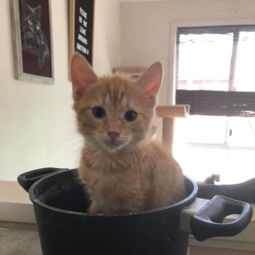 Fred - Domestic Medium Hair Cat