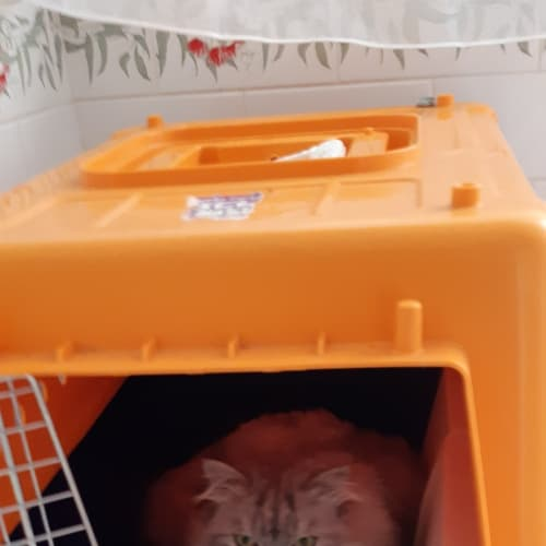 Boo Boo - Himalayan x Ragdoll Cat