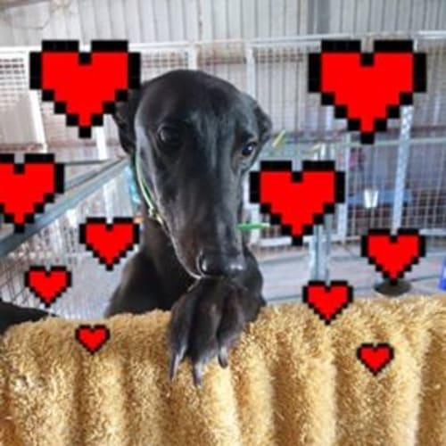 Hanga - Greyhound Dog