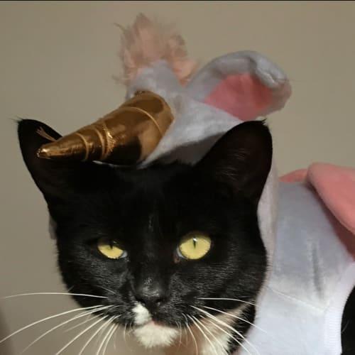 Covfefe - Domestic Short Hair Cat