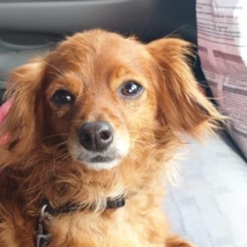Max - Chihuahua Dog