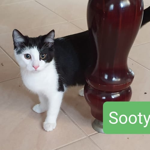 Sooty - Domestic Short Hair Cat