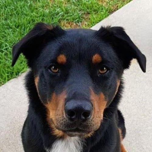 Buddy - Kelpie x Mixed Breed Dog
