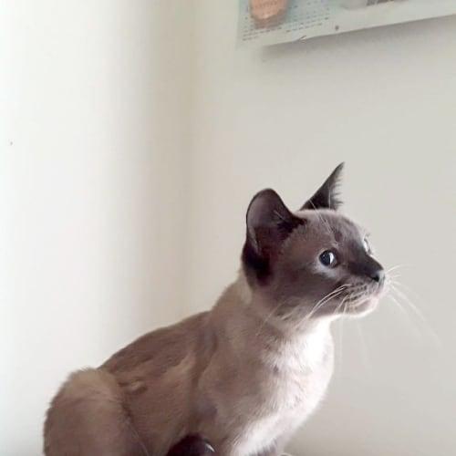 Mercedes - Burmese x Tonkinese Cat