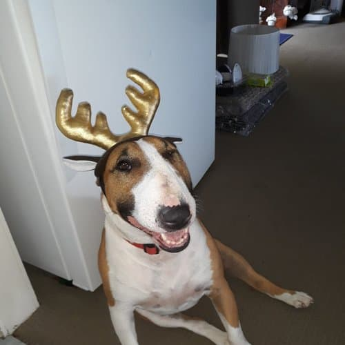 Lily - NSW Bull Terrier Rescue