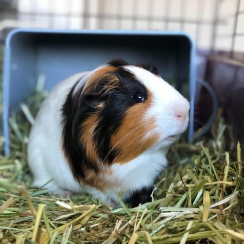 Logan  -  Guinea Pig