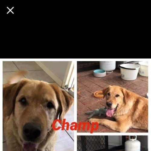 Champ with Karen  - Labrador x Golden Retriever Dog