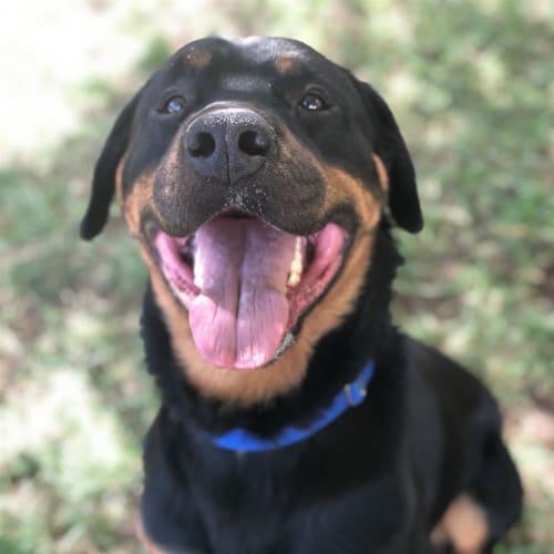 Major - Rottweiler Dog