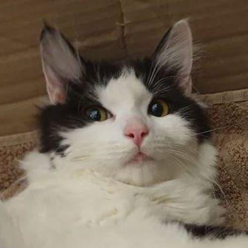 Millow - Domestic Medium Hair Cat