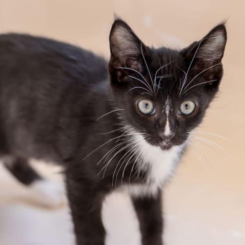 2239 – Peppi - Domestic Short Hair Cat