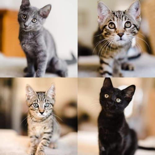 2168/70/73/72 - Maeve Maddox Alyssa & Ripley - Domestic Short Hair Cat
