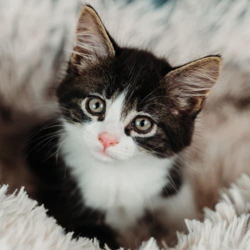 Paprika - Domestic Short Hair Cat