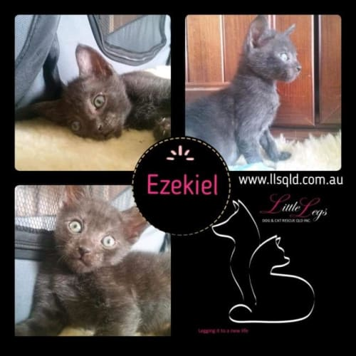Ezekiel - Domestic Short Hair Cat