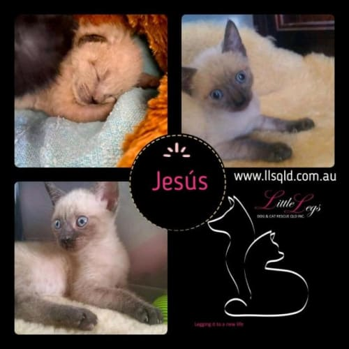 Jesus - Domestic Short Hair Cat