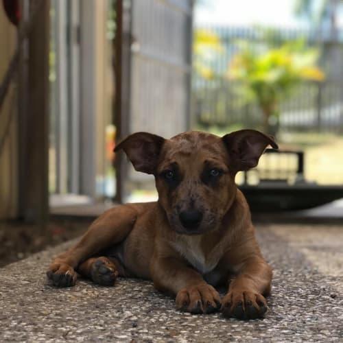 Jasper - Kelpie Dog