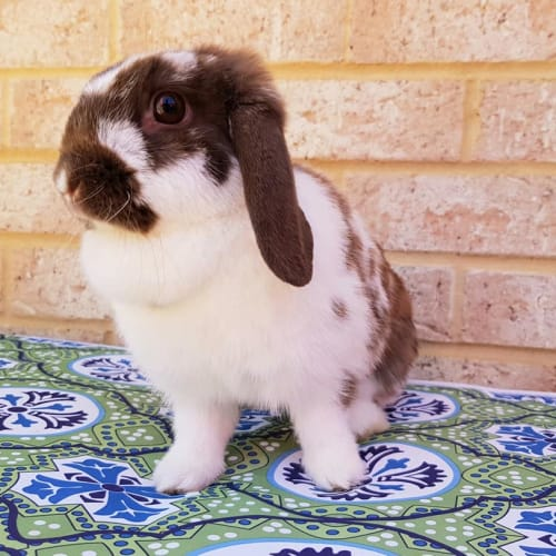Molly - Dwarf lop Rabbit