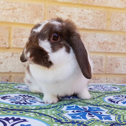 Molly - Dwarf lop Rabbit