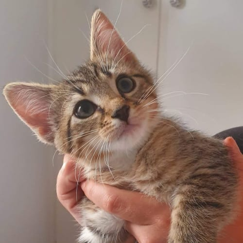 Ned - Domestic Short Hair Cat