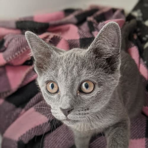 Bluey - Domestic Short Hair Cat